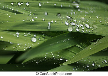 Rain Droplets on Foliage (Landscape) - Drops of rain glisten...