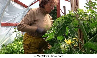 old woman care tomato - Old senior gardener woman care...