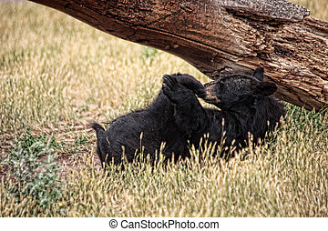 Smell My Feet? - Young black bear in the wild laying on his...