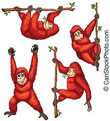 Orangutan - Illustration of orangutan hanging on vines