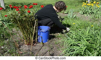 woman spring flower bed - woman looks after tulip flower...