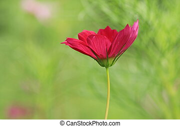 Cosmos flower,red Cosmos flower blooming in the...