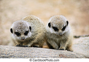 baby meercats - meercats