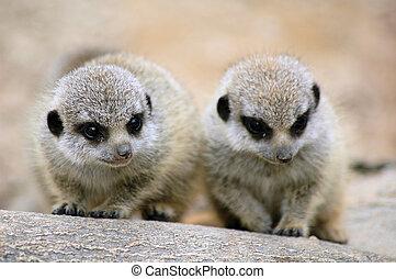 baby meercat - meercat