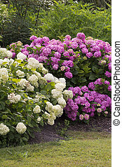 lilac and white bushes of great blossoming hortensias in the...