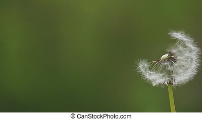 blowball becomes blown - Wind blowing on a dandelion....