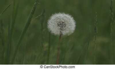 blowball in green grass - blowball macro  in green grass