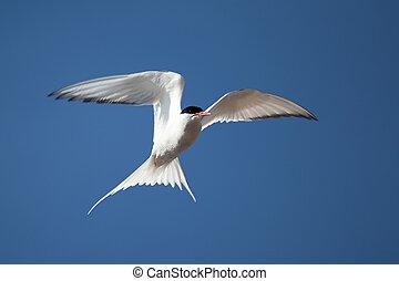Tern in flight - A common tern in flight on a clear summer...