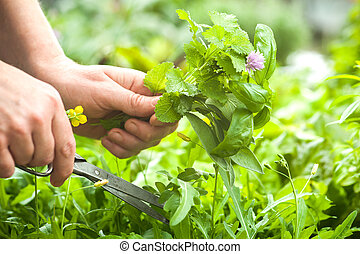 Gathering fresh herbs in the garden - Woman gathers fresh...
