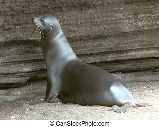 Sea lion on the Galapagos Islands