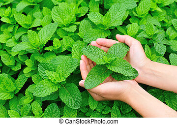 woman hands protect mint plant at vegetable garden