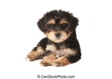 Tiny Miniature Teacup Yorkie Puppy on White Background -...