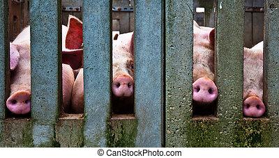 Pig noses