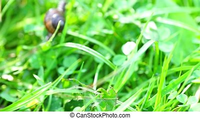 Slow brown snail climbing grass - Close up view at brown...