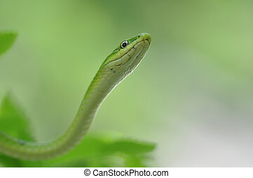 Green snake - Close-up of a non-venomous green snake...