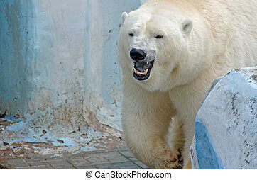 White polar bear in zoo on blue background