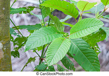mitragyna speciosa korth (kratom) a drug from plant to a...