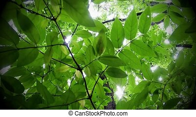 Sun shining through treetops - Green leafy trees in forest...