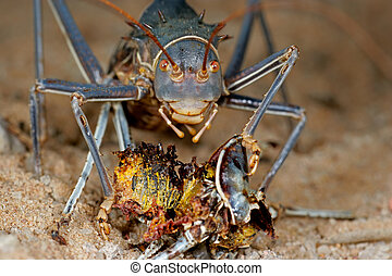 Armoured ground cricket - Feeding African Armoured ground...