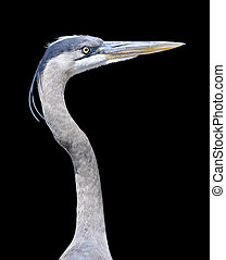 Great Blue Heron - Close-up of a Great Blue Heron over a...