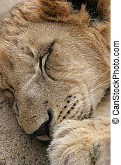Lion Sleeping - Lion sleeping in the sun after a meal