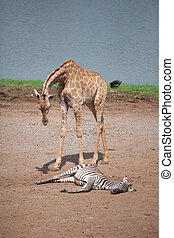 Giraffes and Zebras near river  in forest