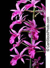 Calanthe rosea - Pink ground orchid, Calanthe rosea, native...