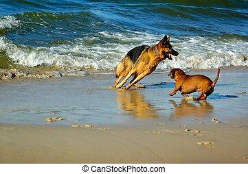 Lana and Pirat - dachshund and german shepherd on sand beach...