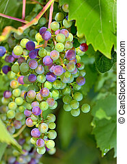 young unripe grapes in garden