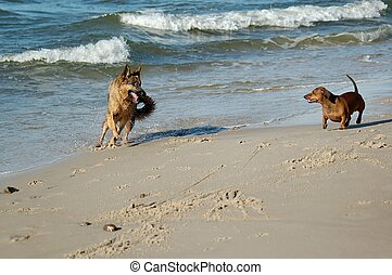 Lana and Pirat - dachshund and german shepherd on sand beach...