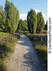 heathland with flowering common heather