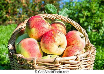 crop of red juicy apples in a basket