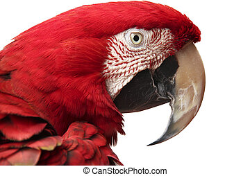 Green-winged macaw - Close-up of green-winged scarlet macaw...