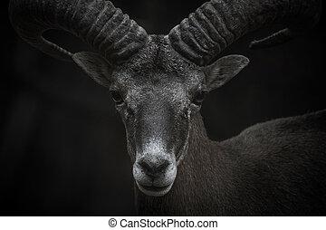 Cyprus Mouflon portrait - Cyprus Mouflon closeup portrait