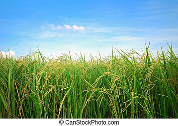 rice plantation  - paddy rice field with cloud background