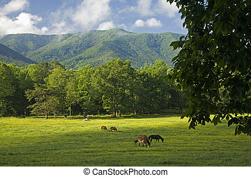 Horses, Cades Cove, GSMNP, TN - Horses, Cades Cove, Great...