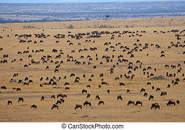 Wildebeest covering plains of Masai Mara during annual...