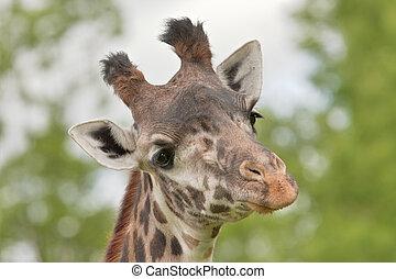 African Animals - Sceptical giraffe