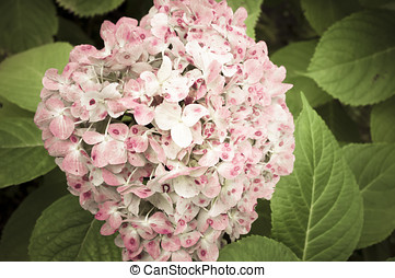 hydrangea hortensis blossom close up, leaves background