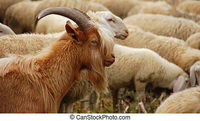 Goat in the flock of sheep - Brown goat in the flock of...