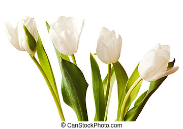Spring Tulips in white - spring tulips flower isolated on...
