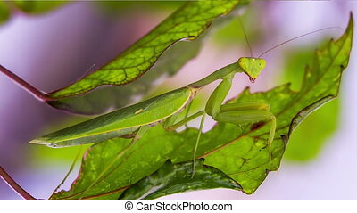 Mantis on the hunt is disguised as a leaf Shooting in RAW...