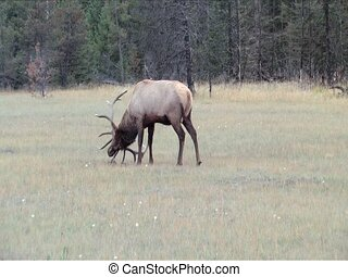 Bull Elk in full rut and getting ready for a head on battle