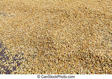 Natural brown rice spread out on the floor to dry