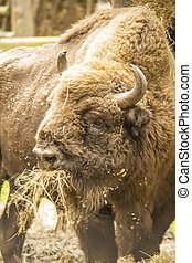 European bison - The endangered european bison eating hay