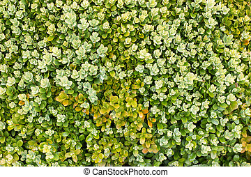 Close up image of green hedgerow