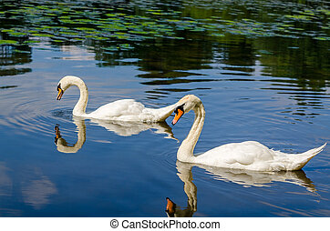 Two white swans are swimming on water in nature - Two white...