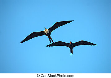 magnificent frigatebirds - A male and a female magnificent...