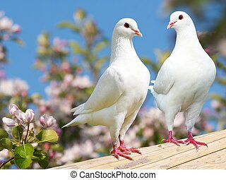 Two white pigeon on flowering background - imperial pigeon -...