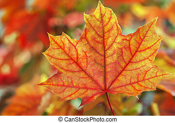 Maple leaves in autumn colours - Maple leaves in beautiful...